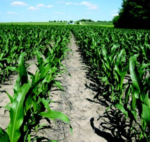 This field received a preemergence application of Corvus, which is recommended in a two-pass herbicide program.
