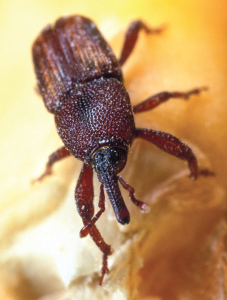 For corn producers, avoiding an infestation is key to maintaining grain quality, especially when dealing with the threat of the maize weevil. This economically damaging pest develops inside the kernel, and producers only know there is an infestation when the adults emerge.