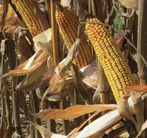 corn ears on a stalk