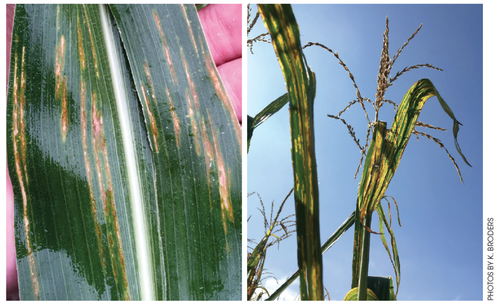 bacterial leaf streak on corn plants