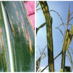 bacterial leaf streak on corn plants