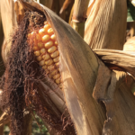 mature corn ear