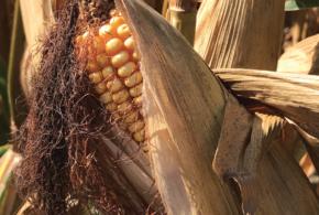 2019 Corn Hybrids
