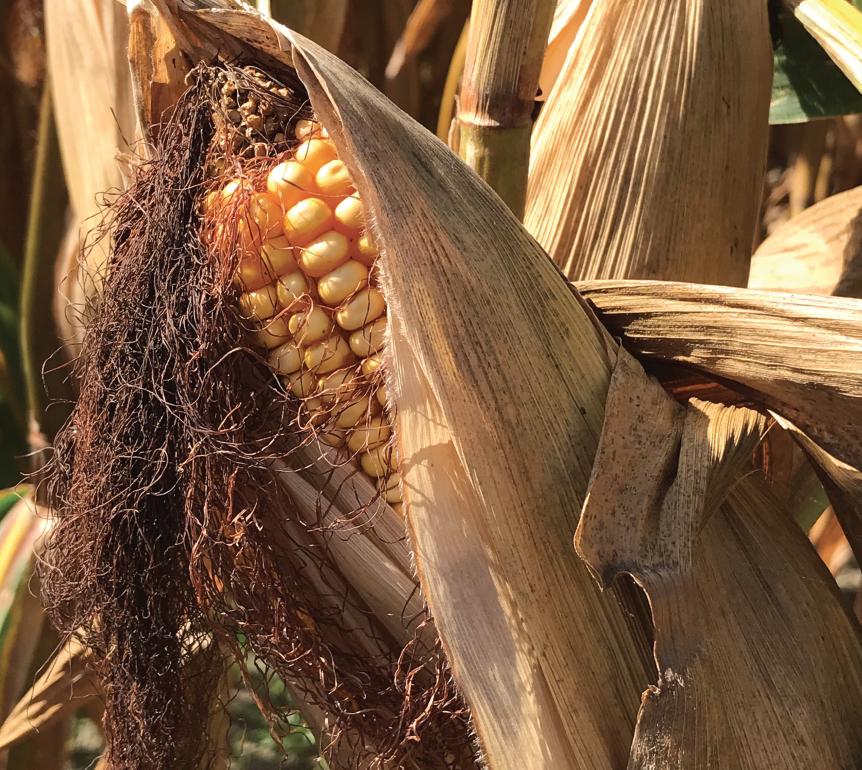 mature corn ear