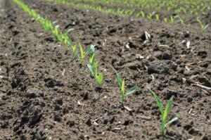 seedling corn