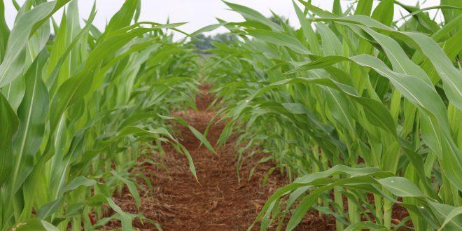 corn nematodes