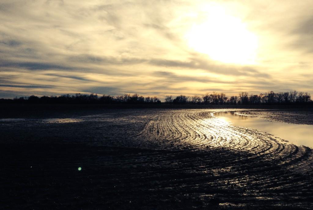 wet texas corn field