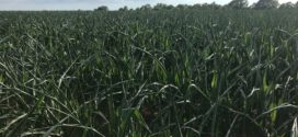 Dry Weather, Dry Forecast Worry Wiregrass Corn Producers