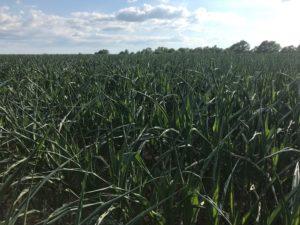 wiregrass corn