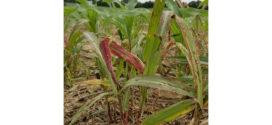 Glyphosate-Resistant Johnsongrass Raises Management Questions