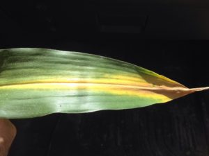 nitrogen deficient corn symptoms