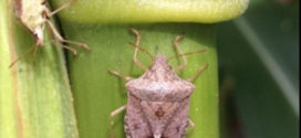 Virginia, North Carolina change stink bug thresholds for corn