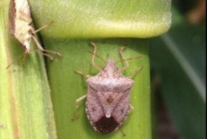 Virginia, North Carolina change stink bug thresholds for corn