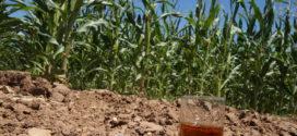 Texas A&M Corn Breeder Looks To Build A Better Bourbon