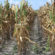 After Corn Harvest, Farmers Should Continue Managing Weeds