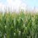 UGA Expert Optimistic Recent Rains Helped State's Corn Crop