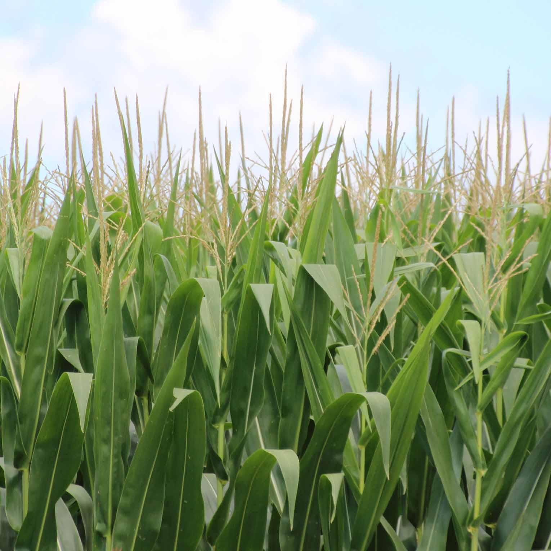 georgia corn