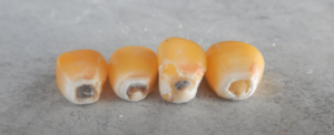 corn kernels, varying stages of maturity