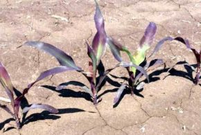 Corn Yield Losses On Fallow Fields Offset By Fungi On Cover Crop Roots
