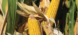 2020 Corn Hybrids