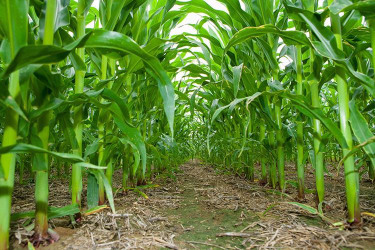 in-furrow fertilizer