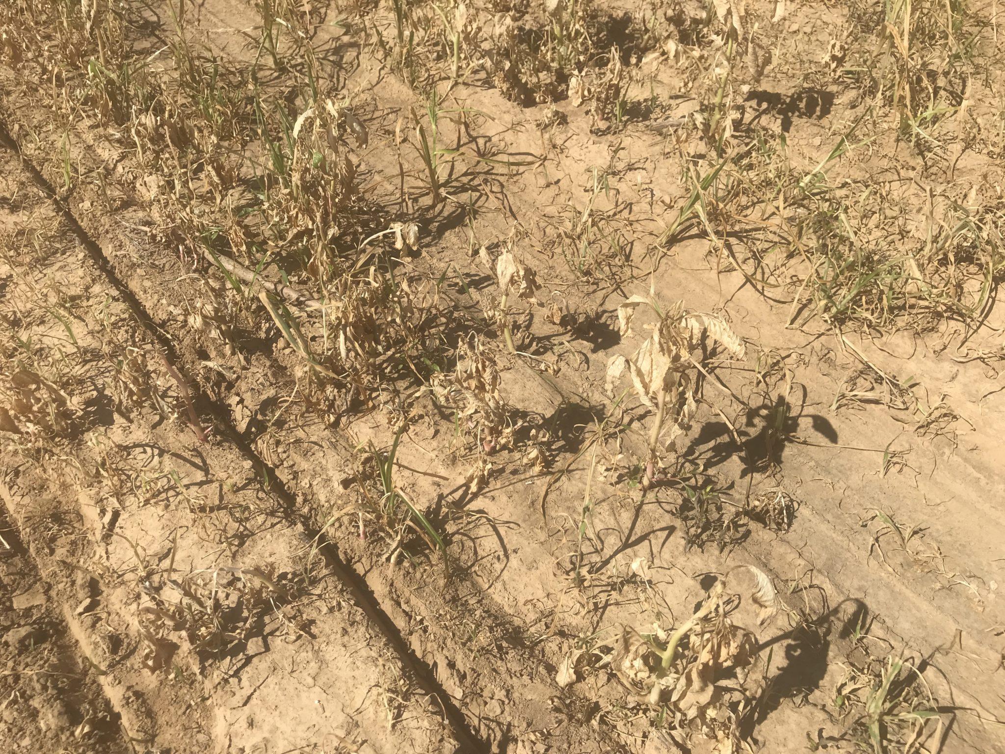 paraquat activity on weeds