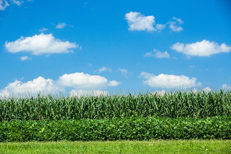 corn, uk