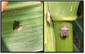 rice stink bug vs brown stink bug