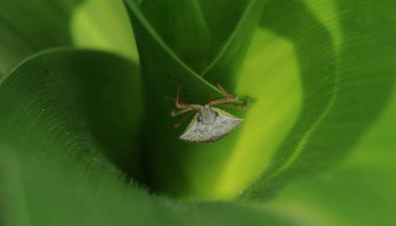 stink bugs in corn