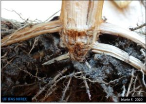 root and crown rot