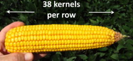 How to estimate corn yield before harvest