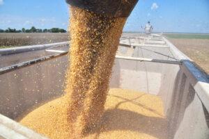 2019 corn harvest