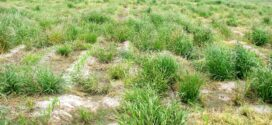 Glyphosate-resistant Italian ryegrass management: Now is the time!