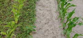 Manage weeds before planting corn