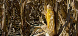 Mississippi corn posts solid harvest despite struggling start
