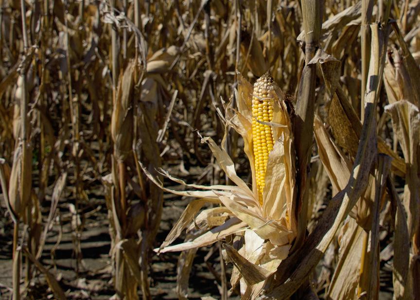 msu corn