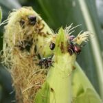 japanese beetle on corn silk