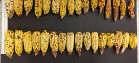 UF researchers develop corn that can weather warmer temps