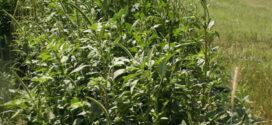 EPA registers new Helm Agro herbicide premix
