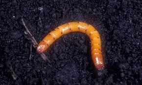 corn wireworm